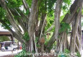 ficus tree care ornamental and edible fig varieties
