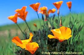 State Flower Of Montana - california state flower california poppy