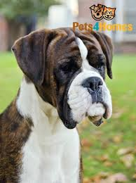 6 week pregnant boxer dog champion brindle and white boxer dog for stud stanley county