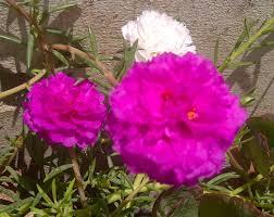 native brazilian plants portulaca grandiflora wikipedia