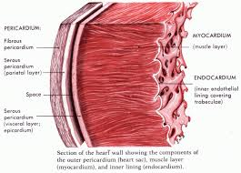 diagram of cardiac muscle u2013 hd m com