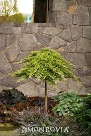 ornamental trees for small gardens evergreen cori matt garden