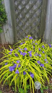 need help identifying this ornamental grass with purple flowers