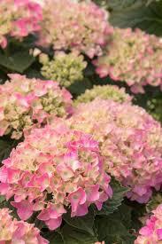 pink hydrangea pink n pretty hydrangea monrovia pink n pretty hydrangea