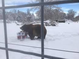 Zoomontana S Grizzly Makes Super Bowl Prediction Ktvq Com Q2 - 98 5 the wolf home facebook