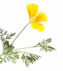 California Poppy California Poppy Herb Extract Benefits