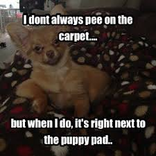 Meme Chihuahua - 12 best chihuahua memes of all time