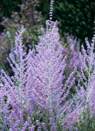 When Is Lavender In Season In Michigan by Perennial Flowers That Bloom All Summer