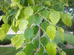 Why Are My Plants Turning by Why Are My Tree Leaves Turning Yellow About Leaf Chlorosis