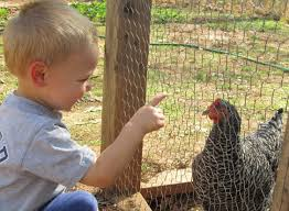 Chickens For Eggs In Backyard Raising Chickens For Eggs How To Have It All