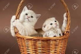 beautiful kittens group of white beautiful fluffy little kittens in basket on