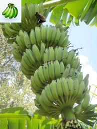 Tiny Banana Buy Banana Tree Plants