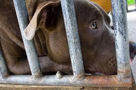 Seeking Pitbull A Lawyer Seeks To Ban The Pit Bull Need To Pbs