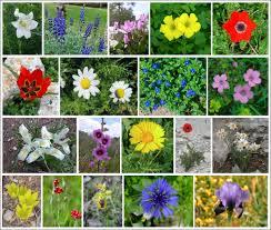 file flowers of israel ver006 jpg wikimedia commons