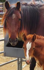 mustang horse largest horse rescue operation in us thefencepost com