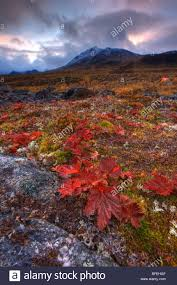 tundra native plants vegetation canada stock photos u0026 vegetation canada stock images