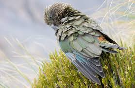 nz native plants list kea new zealand native land birds