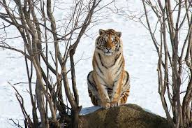 tracking the great siberian tiger the spectator