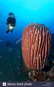 Strawberry Vase Sponge Diver Vase Sponge Stock Photos U0026 Diver Vase Sponge Stock Images