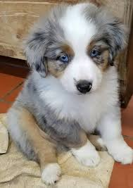 australian shepherd york homespun kennel home facebook