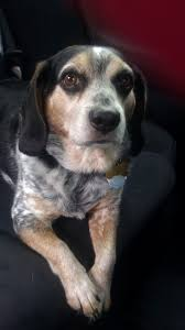 bluetick coonhound forums best 20 blue tick beagle ideas on pinterest beagle puppy
