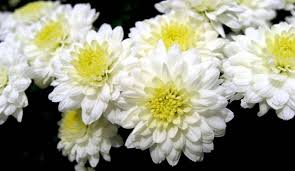 Picture Of Mums The Flowers - mums aren u0027t just for fall hobby farms