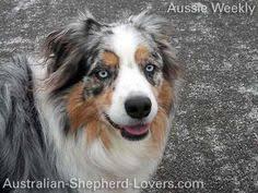 australian shepherd lovers the aussie weekly 03 u2014 the weekly special feature for australian