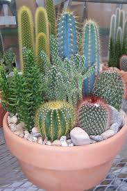 decorations keeping cactus at home secrets of growing cacti and
