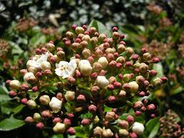 Very Fragrant Plants - image detail for daphne is among the most fragrant plants