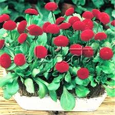 2017 red english daisy flower 500 seeds bellis daisy easy to grow