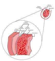 Heart Anatomy And Function Localized Drug Delivery For Cardiothoracic Surgery Intechopen