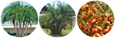 sylvester palm tree sale where to find delicious date palms for sale