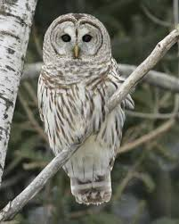 white owl 2 wallpapers barred owl audubon field guide