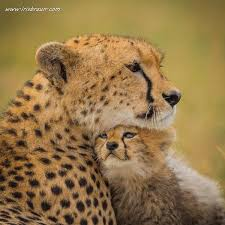 affectionate cheetahs wallpapers 328 best cheetahs images on pinterest big cats wild animals and