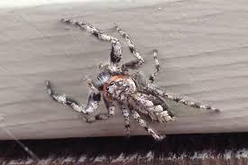another ri spider spiders of rhode island pinterest spider