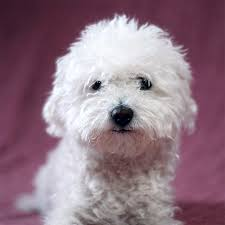 cost of a bichon frise bolognese dog breed information pictures characteristics u0026 facts