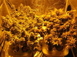 best hps grow lights how to take great pictures under hps grow lights grow weed easy