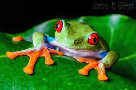 agalychnis callidryas eyed tree frog