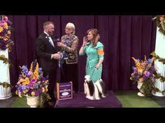 westminster bluetick coonhound 2016 dog shows dogshowshd on pinterest