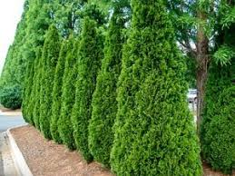 download best trees for small yards solidaria garden