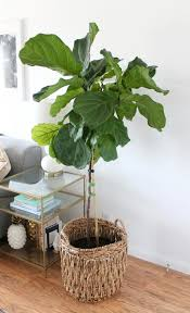 Fiddle Leaf Fig Tree Care by How To Care For Your Fiddle Leaf Archives A Married Adventure