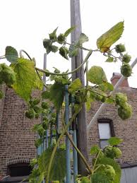 green roof growers hoops for hops
