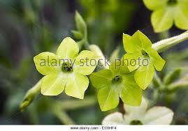 Lime Green Flowers - nicotiana lime green stock photos u0026 nicotiana lime green stock