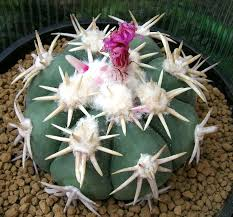 Seeking Cactus Cast 17 Best 2 Color Echinocactus Images On Ranges State