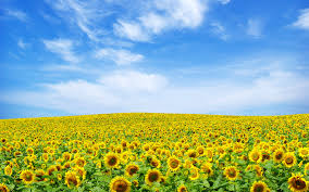 sunflower wallpapers sunflower wallpaper u2013 craftbnb