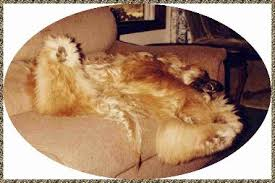 afghan hound giving birth alf beautiful first afghan hound afghan hound