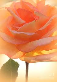 Peach Roses Best 25 Peach Rose Ideas On Pinterest Roses Orange Roses And