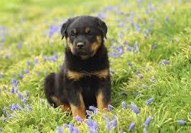 bluetick coonhound puppies for sale in ohio rottweiler puppies for sale akc puppyfinder