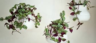 Best Plants For Hanging Baskets by Best Plants For Hanging Baskets Indoor 8 Colour Up With Knotted