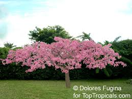 ceiba hybrid pink princess is a tree 8 12 ft with